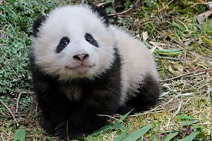 panda, guvende / ©: © naturepl.com / Eric Baccega / WWF