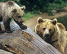Yaban hayvanlarının avlanma kararları nasıl alındı?