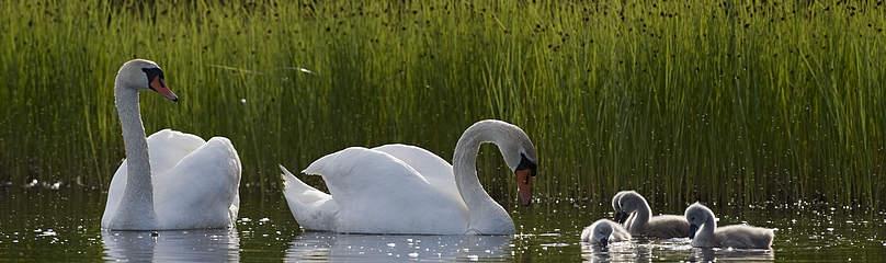 kuğu, swan / ©: Wild Wonders of Europe / Orsolyo Haarberg / WWF
