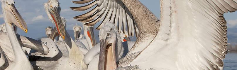 pelikan, pelican, pelicanus crispus, dalmatian pelican / ©: Wild Wonders of Europe / Jari Peltomaeki / WWF